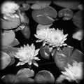 POND LOTUS BW