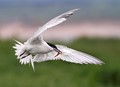 Wings of a landing Sandwich Tern