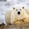Polar-Bear-Taking-A-Break1