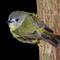 Pale Yellow Robin Terrania Crk 2