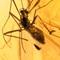 2017 Amber 004 Feb Diptera Nematocera Chironomidae II