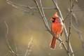 Cardinal on a Thorny Perch