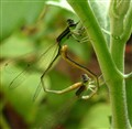 Mating of Damselflies