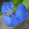 P1000747Commelina