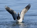 Barnacle Goose spreading wings