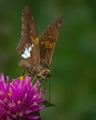 A Brown Silver-spotted skipper butterfly sipping some nectar from a flower
