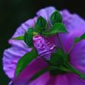 opening hibiscus