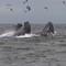 HumpbacksFeeding_007_DxO
