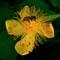 Bee-On-Yellow-Flower-Web