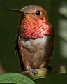 A hummingbird resting in shade