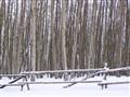 DSCN4036 Aspens and snowy fence v2