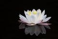 Adirondack lily