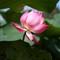 Lotus- VietNam