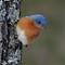 Backyard Bluebird