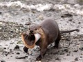 River Otter Bringing Home The Bacon