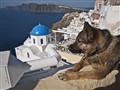 Dog Watching over Santorini