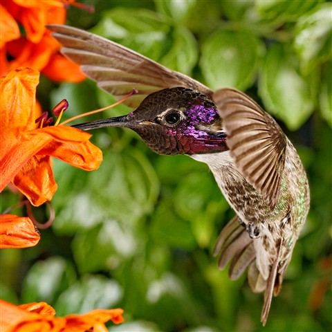 Costas Hummingbird, May 2012