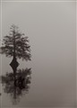 cypress in fog (1 of 1)