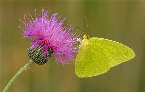 Yellow Sulphur Butterfly