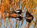 Hooded Meranser pair at sunset