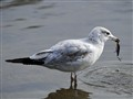 Fishing gull..
