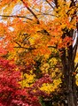 The colors of several maples in our backyard located in Saginaw, Michigan were particularly vivid in the fall of 2016 as shown in my entry.