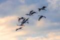 sandhil cranes