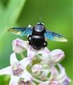 CARPENTAR BEE