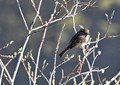 Song sparrow chief (at least I belief it to be a song sparrow)