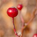 Broemmelsiek Park, in Saint Charles County, Missouri, USA - red berries on red stalk against brown background