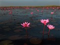 Red lotuses