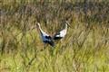 Pantanal Storks