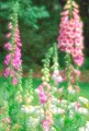 Foxglove & Daisies