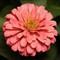 Pink Flower 1-2