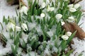 Snowflakes on Snowdrops