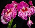 Orchid: Miltonia