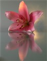 Lily on Glass