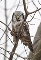 Hawl Owl with a mouse dinner