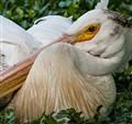 Pelican Knot-2
