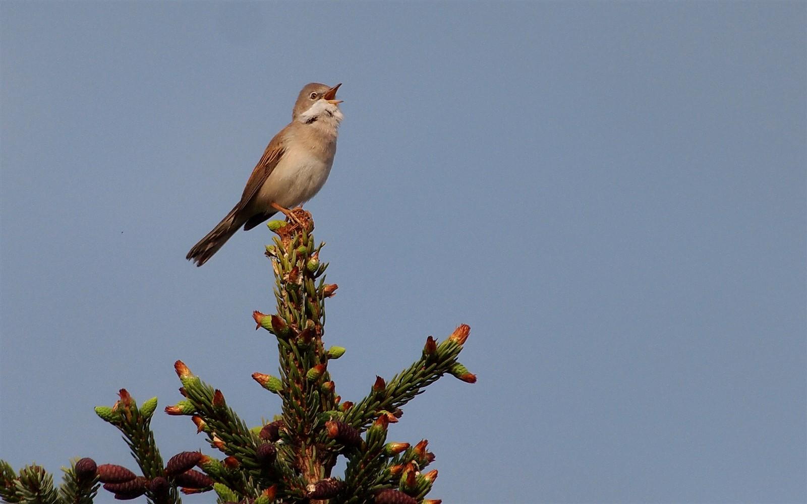 Singender vogel anderl galleries digital photography