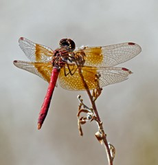 A Small Dragonfly