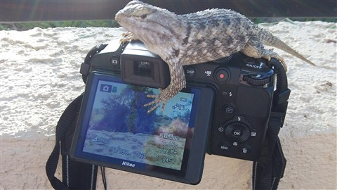 Desert Spiny Lizard Takes Over Camera