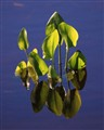 waterleaves_01_small