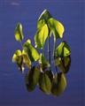 waterleaves_01_small