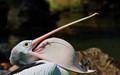 pelican yawn2_0249
