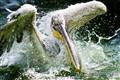 Pelican taking a bath