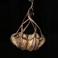 Australian Dutchmans Pipe vine