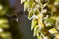Bee gathering palm pollen
