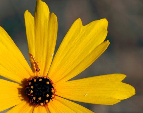 ND0162c - Ant on Coreopsis