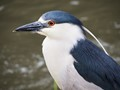 Black-Crowned Night Heron  near Palace of Fine Arts Theater, San Francisco